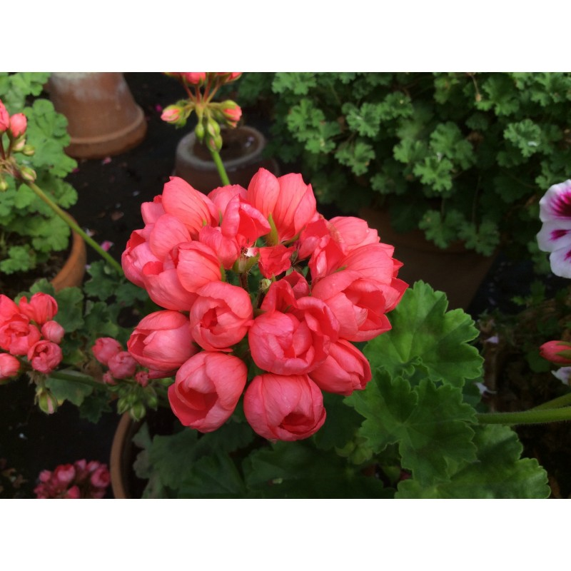 Pelargonium Patricia Andrea