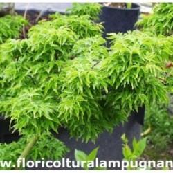 Acer Crispifolium