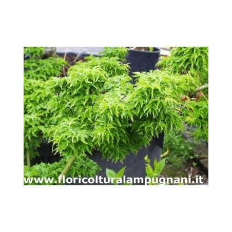 Acer Crispifolium Shishigashira