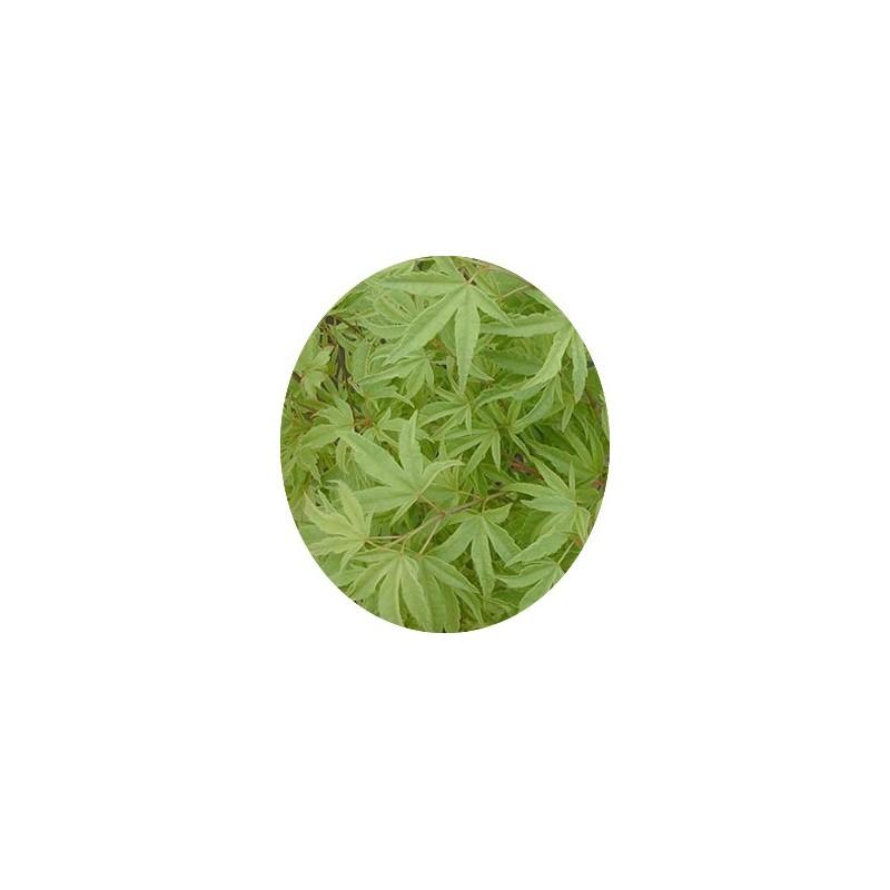 ACER palmatum Hoshi kuzu