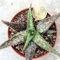 Aloe jucunda