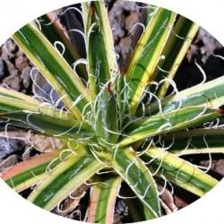 Agave Leopoldii V. variegata