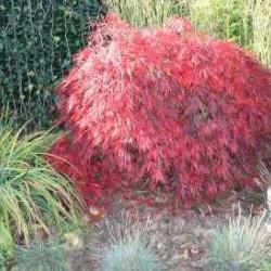 Acer Palmatum Dissectum Stella rossa