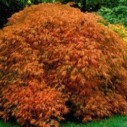Acer Palmatum Dissectum ornatum