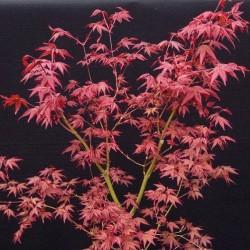 Acer palmatum Desojo