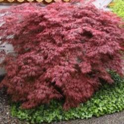 Acer Palmatum Dissectum Garnet vaso 9