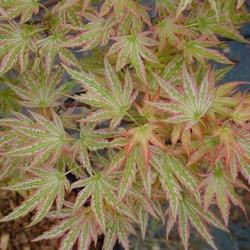Acer Palmatum Higasayama vaso 15