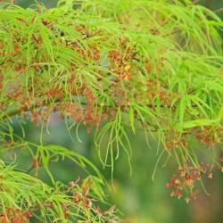 Acer Palmatum Koto No Ito vaso 15