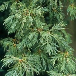 Quercus Pectinata