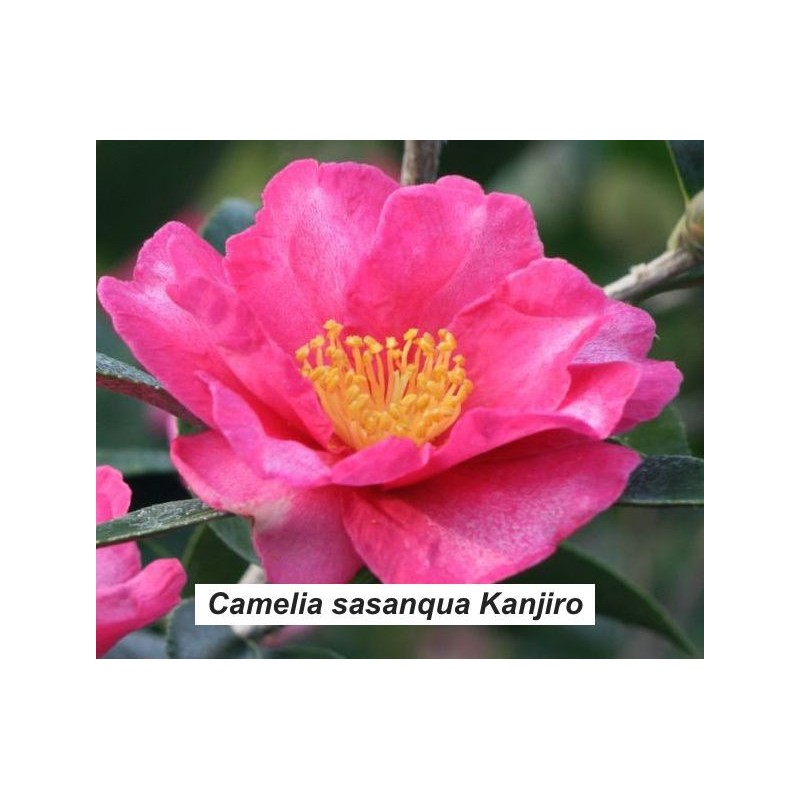 Camellia sasanqua kanjiro