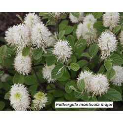 Fothergilla monticola major