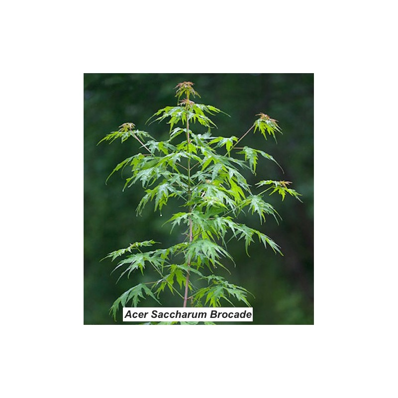 Acer Saccharum brocade