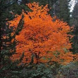 Acer Pseudosieboldianum (d'innesto)