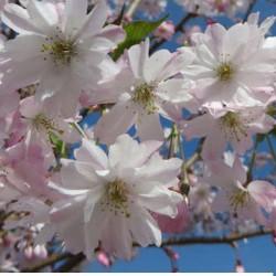 Prunus subhirtella autunnalis vaso 7/9