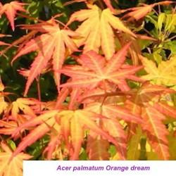 Acer palmatum Orange Dream...