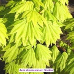 Acer palmatum Shirasawanum...