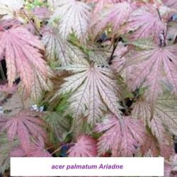 Acer Palmatum Ariadne