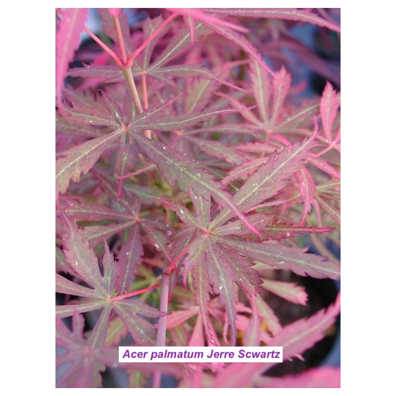 Acer palmatum Jerre Scwartz
