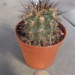 Copiapoa Echinata cm.5H6