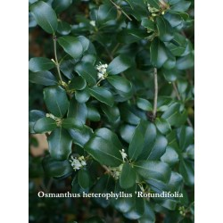 Osmanthus heterophyllus 'Rotundifolia