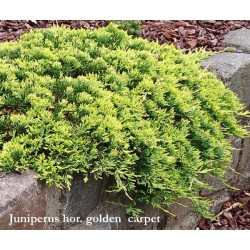 Juniperus horizontalis golden carpet cm. 35/40
