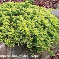 Juniperus horizontalis golden carpet cm. 35/40