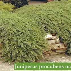 Juniperus Procubens nana
