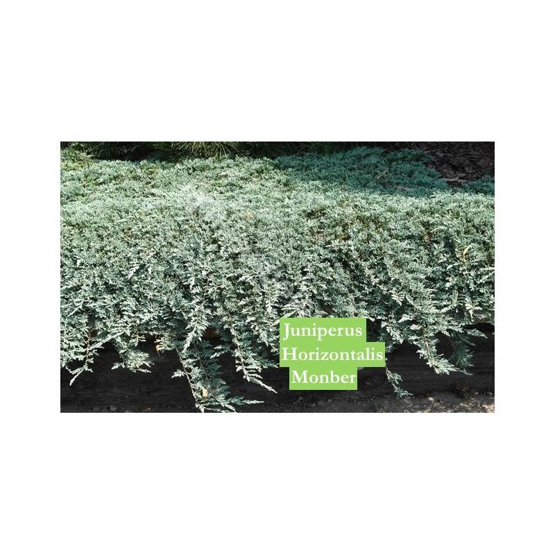 Juniperus horizontalis monber cm. 35/40