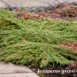 Juniperus green carpet