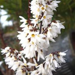 Abeliophyllum Distichum
