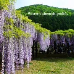 Glicine (Wisteria sinensis prolific)