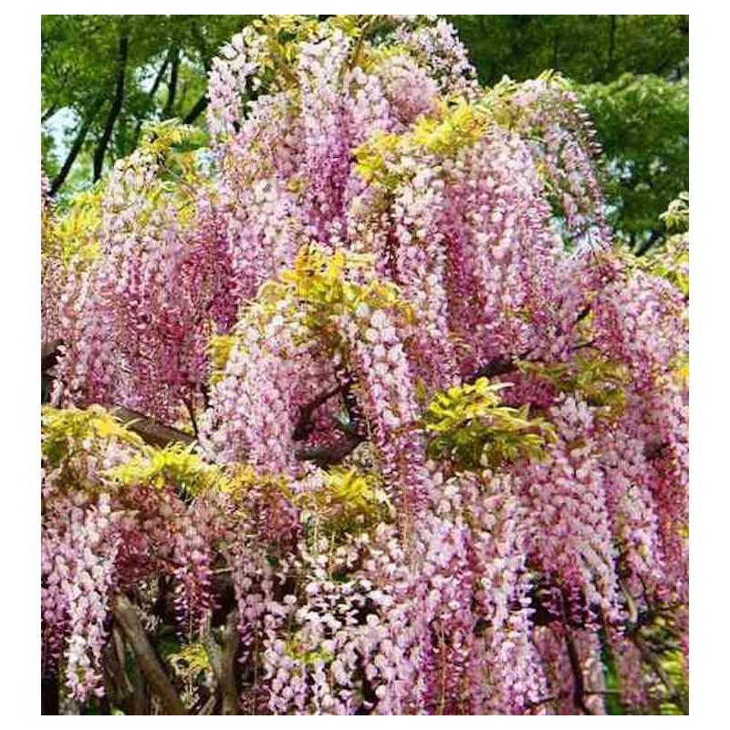 Glicine (Wisteria floribunda Honbeni)