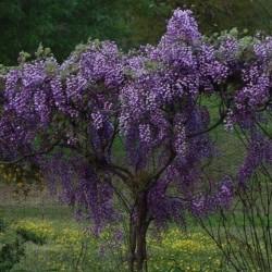 Wisteria floribunda Black Dragon fiore doppio - Glicine double flower- climbing