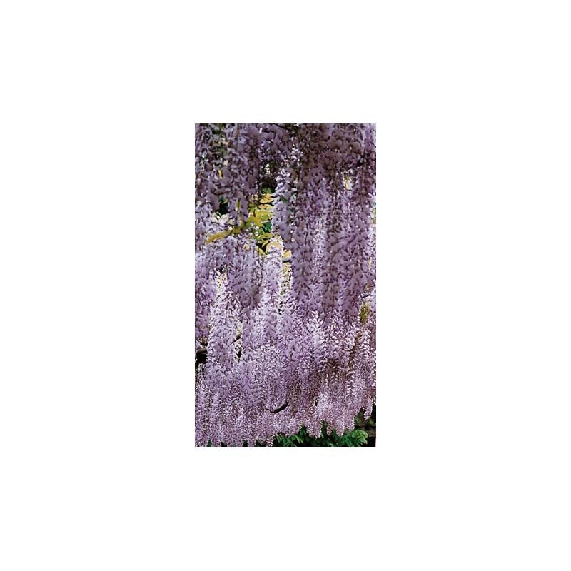 Glicine Wisteria Floribunda Jissai