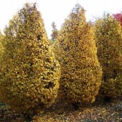 Carpinus betulus monumentalis