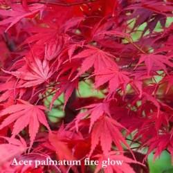 Acer Palmatum fire Glow vaso 9