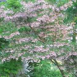 Styrax japonica Pink chimes- pianta rara
