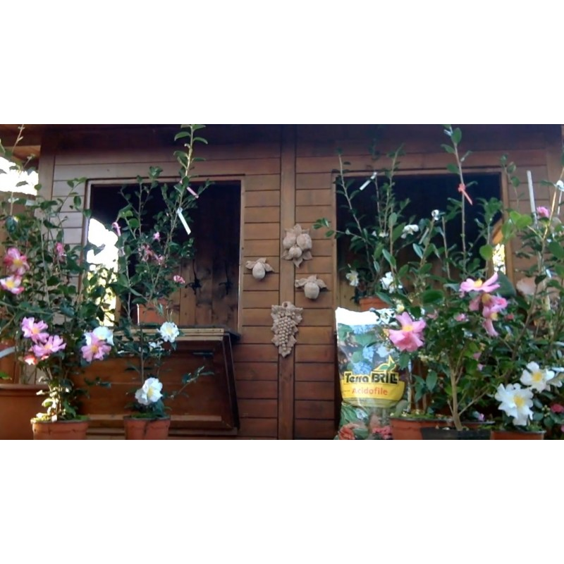 Video Camellia Sasanqua