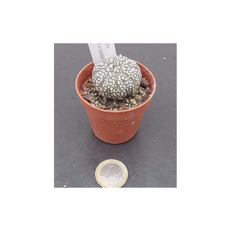 Astrophytum asterias superkabuto