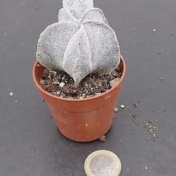 Astrophytum da Onzuka