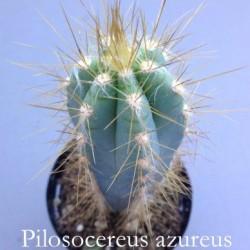 Cereus Azureus -Pilosocereus azureus cm. 12/14