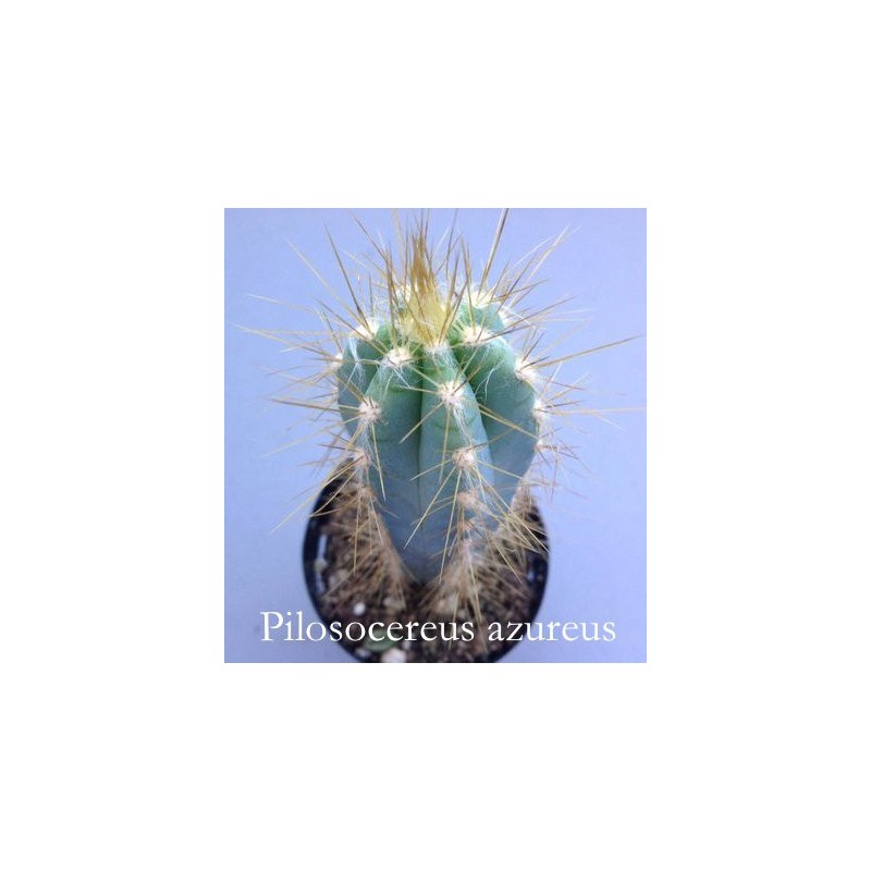Cereus Azureus cm. 12/14