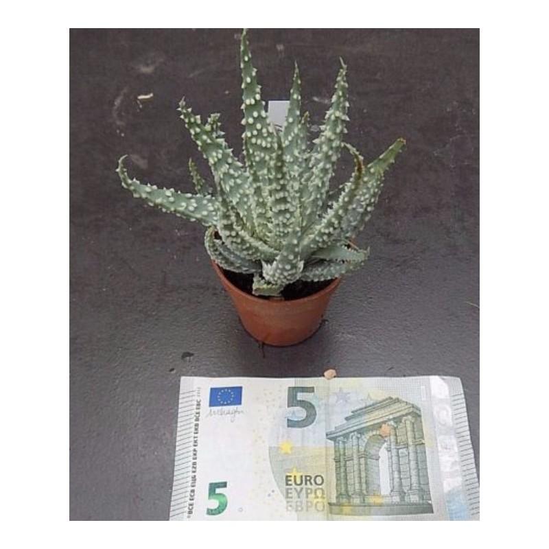 Aloe tarkaensis