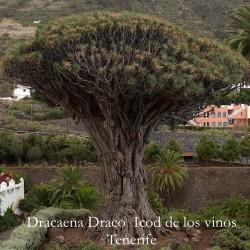 Dracaena Draco