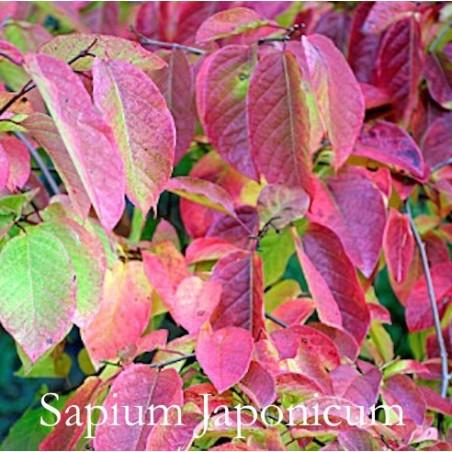 Sapium Japonicum