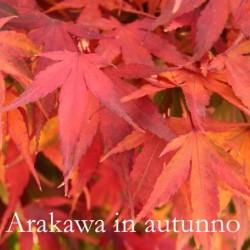 Acer palmatum Arakawa adatto per bonsai,raro piante in vendita sono in vaso 8x8