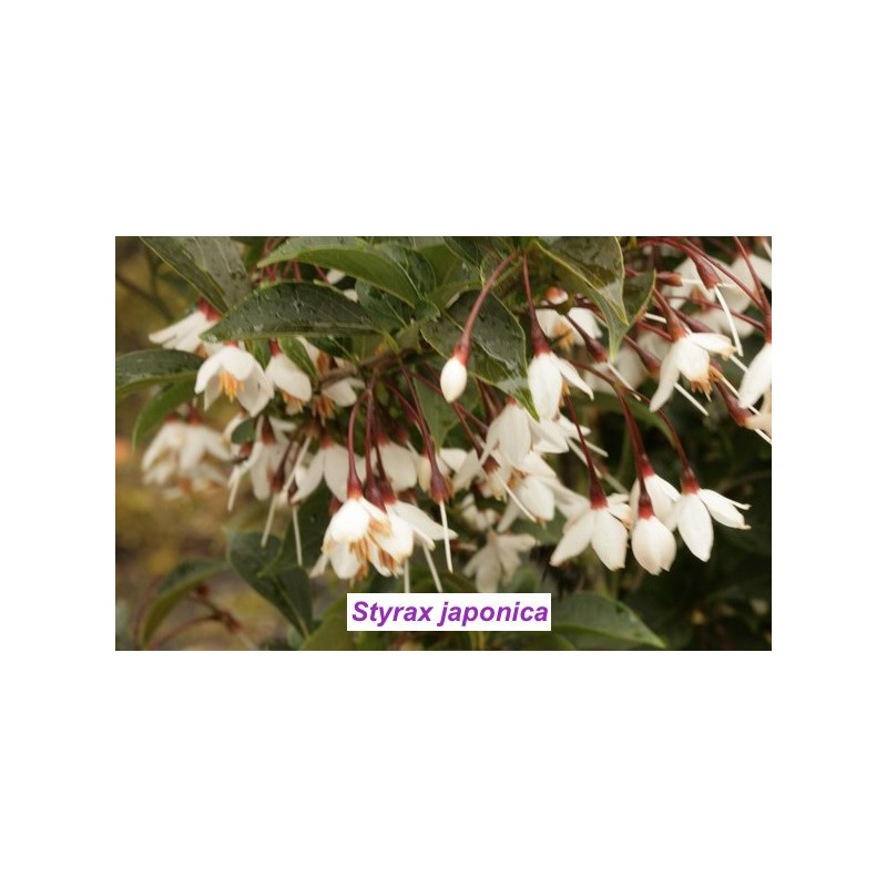 Styrax japonica pianta rara cm. 60/70 vaso 12x12