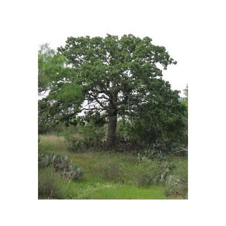 Quercus stellata