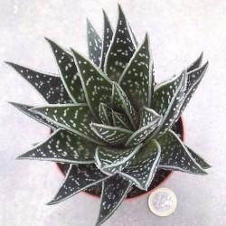 Aloe Tiki
