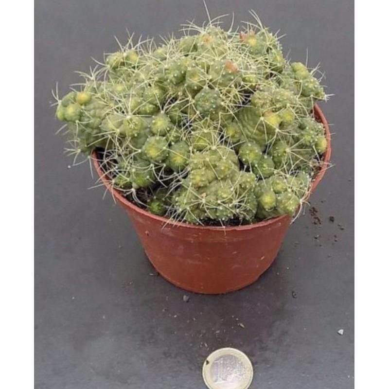 Mammillaria elongata mostruosa